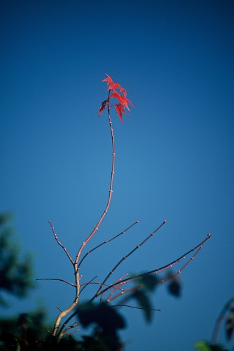 An acer in autumn